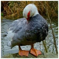 female_breeding hen